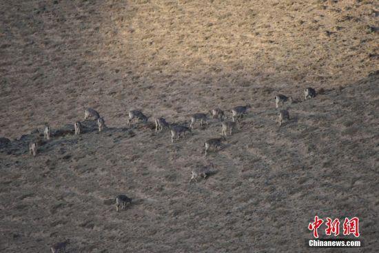岩羊在山间觅食。高宏善 摄