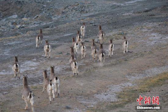 岩羊快速奔跑,十分可爱。 高宏善 摄