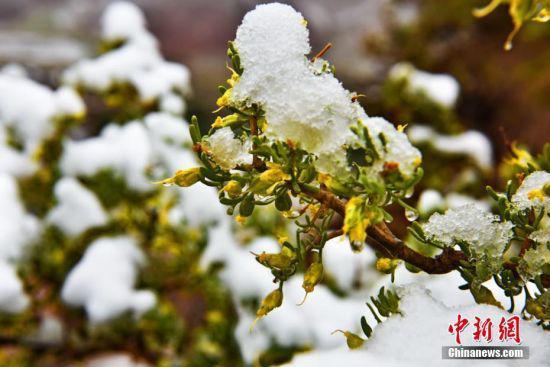 雪落树枝。 武雪峰 摄