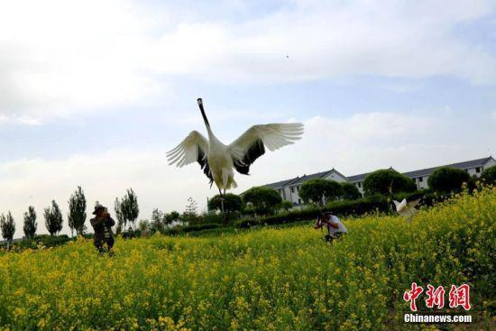 振翅而飞的丹顶鹤吸引游人纷纷拍照。陈礼 摄
