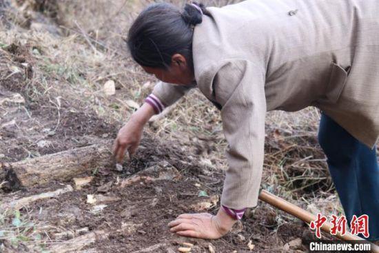 """山里的农民在林中平整""""斜地陡坡"""",种植中药材。 闫姣 摄"""