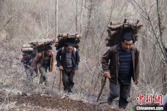 在甘肃陇南市文县范坝镇白皂村的深山里,虽然行车的路已修建了些,但在深山里劳作时,培育天麻所需的木材等农资进山林,仍得他们徒步背着去。 闫姣 摄