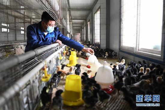 王磊在扶贫车间内查看鸡苗孵化情况(4月23日摄)。 新华社记者 陈斌 摄