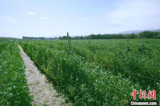 天祝县高原绿色(有机)蔬菜基地种植的食用荚豆。