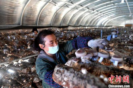 9月12日,甘肃省定西市陇西县菜子镇二十铺村食用菌种植基地,农户王石义正在采摘香菇。