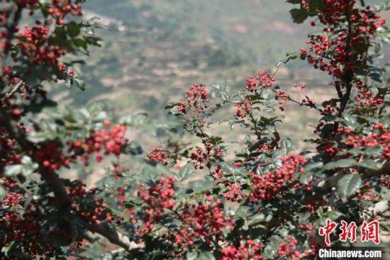 图为陇南市武都区的花椒。(资料图) 闫姣 摄