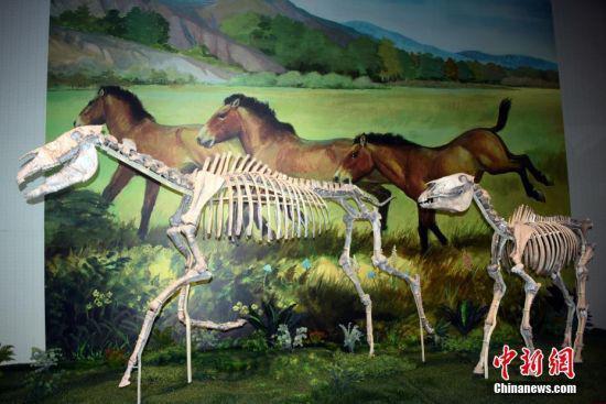 """图为该博物馆展出六项世界之最中的""""世界上最大的真马化石埃氏马""""。"""