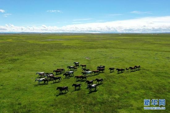 这是7月15日在甘肃玛曲县河曲马场拍摄的河曲马(无人机照片)。新华社记者 杜哲宇 摄