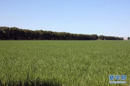 这是饮马农场种植的洋葱(2021年7月4日摄)。新华社记者 刘诗平 摄