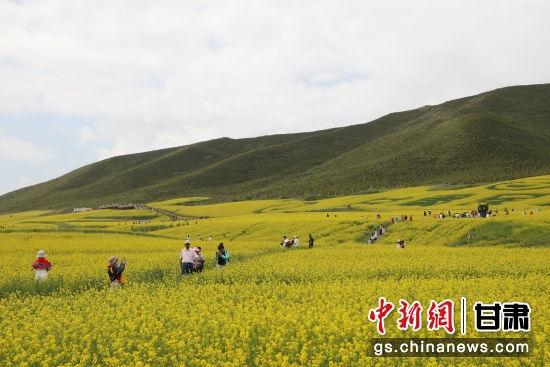 七月中下旬,民乐县扁都口休闲旅游区油菜花进入盛花期,使得该景区也成为了游客旅游观光的打卡圣地。