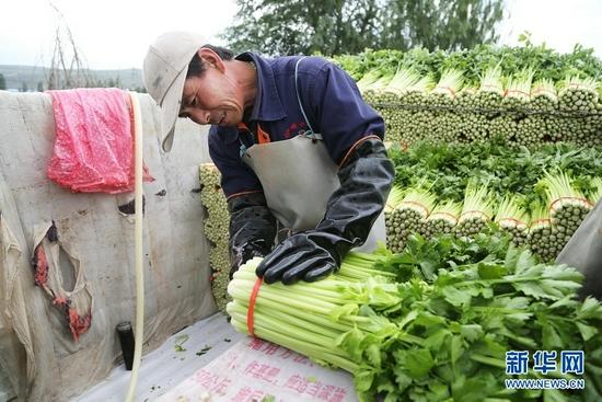 7月27日,甘肃省定西市安定区凤翔镇中川村村民将芹菜装车。新华社发(王克贤 摄)