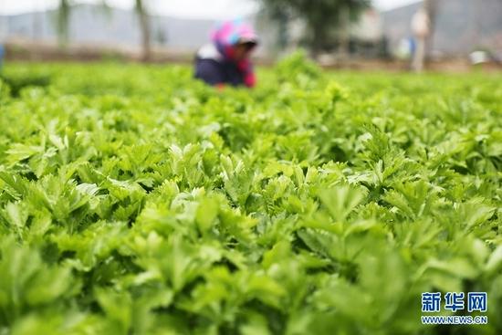 7月27日,甘肃省定西市安定区凤翔镇中川村村民在采收芹菜。新华社发(王克贤 摄)