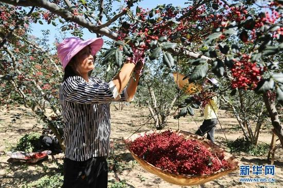 7月31日,甘谷县六峰镇姜家庄村村民在采摘花椒。
