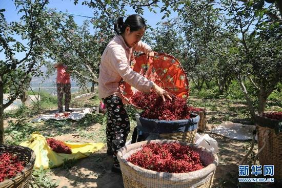 7月31日,甘谷县六峰镇姜家庄村村民将采摘的花椒装筐。