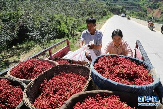 7月31日,甘谷县六峰镇姜家庄村村民将采摘的花椒装车。