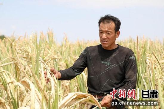 进入8月,环县持续干旱,农作物大面积绝收。