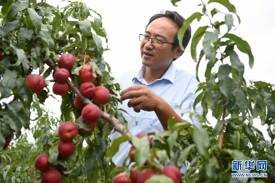 8月18日,方志利在查看桃子生长情况。