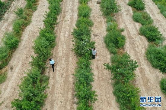 8月18日,方志利(左)和村民在桃园里劳作。新华社记者 杜哲宇 摄