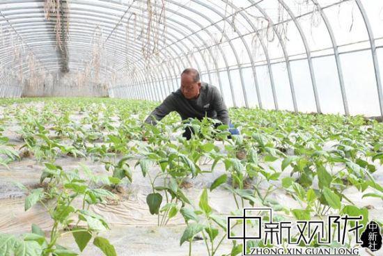 郭家堡镇梁家堡村种植户赵谢福正在照看豇豆苗