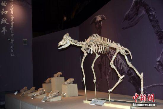 """图为该博物馆展出的镇馆之宝、也是六项世界之最中的""""世界上独一无二的和政羊化石""""。"""