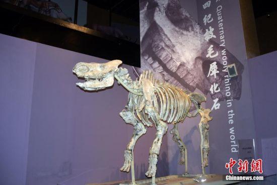 """图为该博物馆展出六项世界之最中的""""世界上最早的第四纪披毛犀化石""""。"""