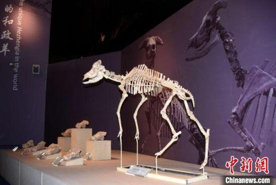 """和政古动物化石博物馆镇馆之宝""""和政羊""""化石。 中新社记者 孙自法 摄"""
