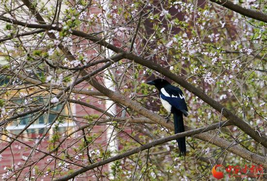 春带着它特有的新绿,与喜鹊一同告知人们,枝头春意闹。