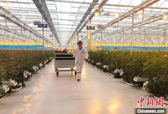 """图为鲜花运输工人将采摘好的鲜花从""""智能田""""运输出来。 闫姣 摄"""