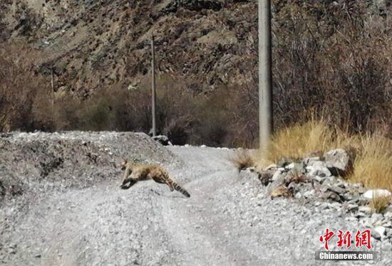 5月24日,甘肃张掖市肃南县水务局工作人员在巡河时拍摄到世界级濒危动物雪豹。吴成 摄