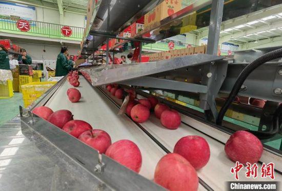 图为苹果根据不同大小被分选。 刘玉桃 摄