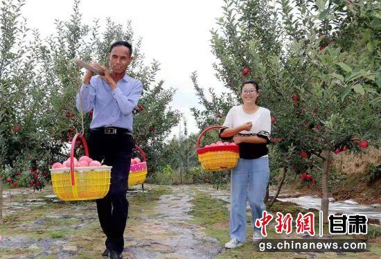 """甘肃""""静宁苹果""""渐入采摘期:果农取袋采果盼丰收"""