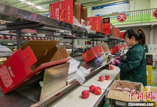 图为工人将苹果分类装箱。 刘玉桃 摄