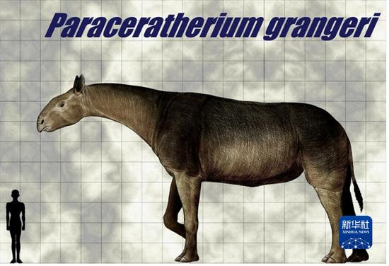 巨犀与人的体积对比图(和政古动物化石博物馆供图)