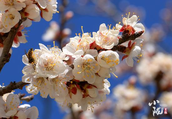 """何必""""俏也不争春"""",蛰伏了一个寒冬的杏花,怎能辜负这绚烂的春光?"""