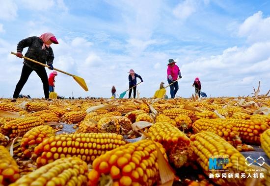 农户正在翻动晾晒玉米。新华网发(王将 摄)