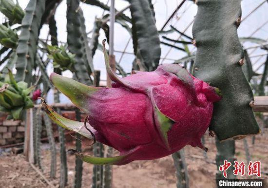 图为现代农业科技示范园种植火龙果逐渐成熟。