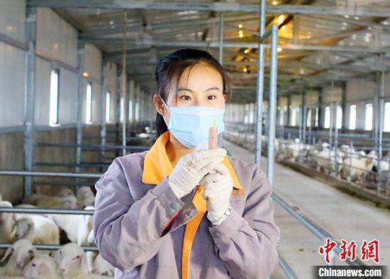 25岁的女大学生肖静目前是一家肉羊养殖专业合作社的技术员。
