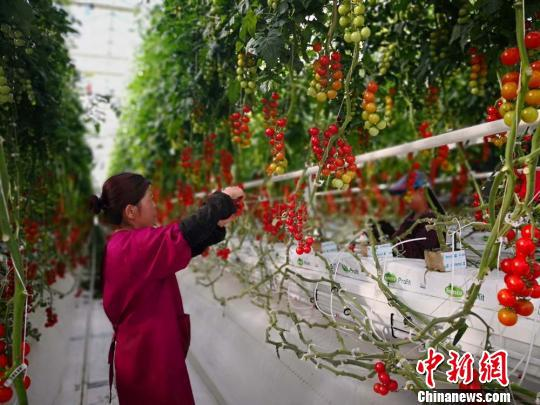 图为工作人员打理番茄。 崔琳 摄