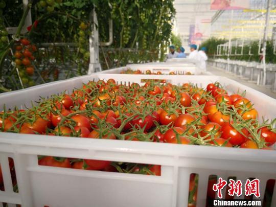 图为采摘的番茄。 崔琳 摄