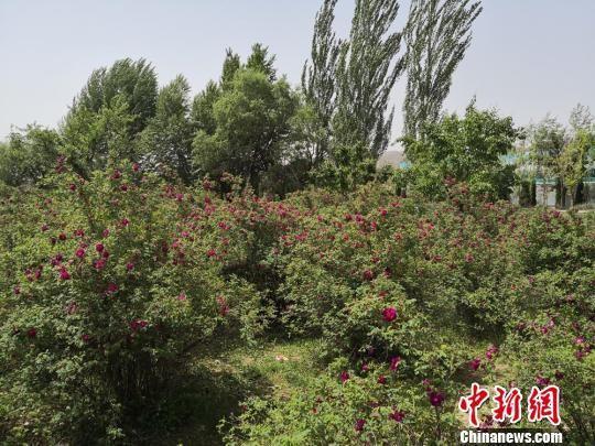 目前,永登县苦水玫瑰种植面积达到11.5万亩,种植以苦水镇为主,辐射带动周边8个乡镇,玫瑰鲜花年产量2460万公斤。 杜萍 摄