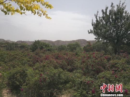 5月16日,第十一届中国玫瑰之乡·兰州玫瑰节新闻发布会在兰州市永登县举行。图为永登县苦水镇成片种植的玫瑰花。 杜萍 摄