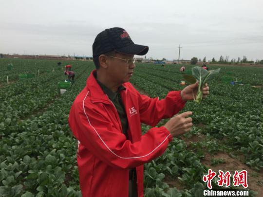 6月10日,金昌市金从玉农业科技发展有限公司的负责人杨健尊在万亩绿色供港蔬菜基地采摘的油菜。 郭蓉 摄