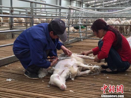 庆城县驿马镇杨湾村村民除了以羊只和土地入股合作社享受分红外,还在合作社打工挣钱。图为村民们正在为羊只剪毛。 侯志雄 摄