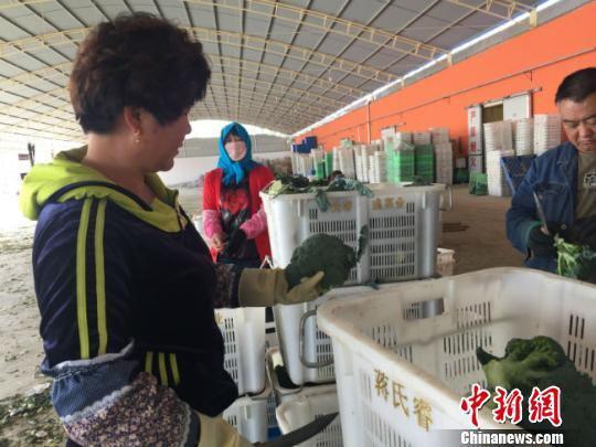 图为工人们将挑选出来品质好的西兰花进行装箱打包。 郭蓉 摄