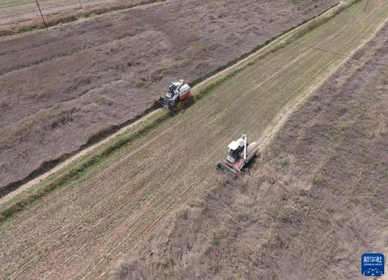 8月27日,和政县松鸣镇的农机手在田间收割油菜(无人机照片)。新华社发(史有东 摄)