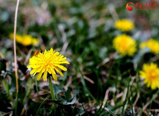 看,蒲公英总是充满朝气,在一片绿意中等待着开花结果。