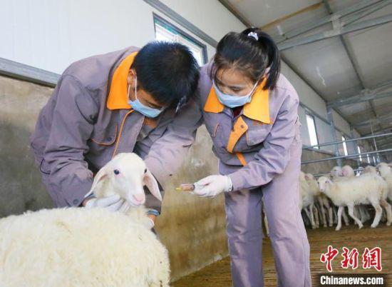 """""""90后""""环县籍大学生苏涛(左)与同事正在给羊只注射疫苗。"""