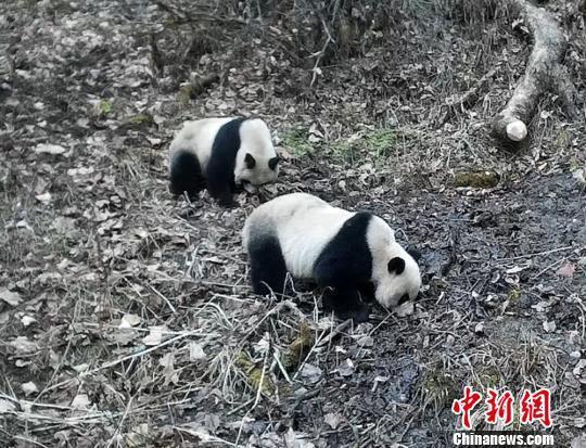 图为甘肃白水江国家级自然保护区内红外相机拍摄到的野生大熊猫母子。 甘肃白水江国家级自然保护区 摄