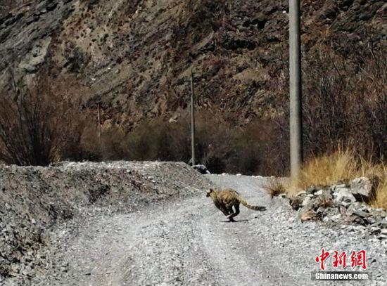 此次雪豹踪影重现,反映了祁连山国家级自然保护区在生态环境改善、生物多样性保护方面取得成。武雪峰 摄