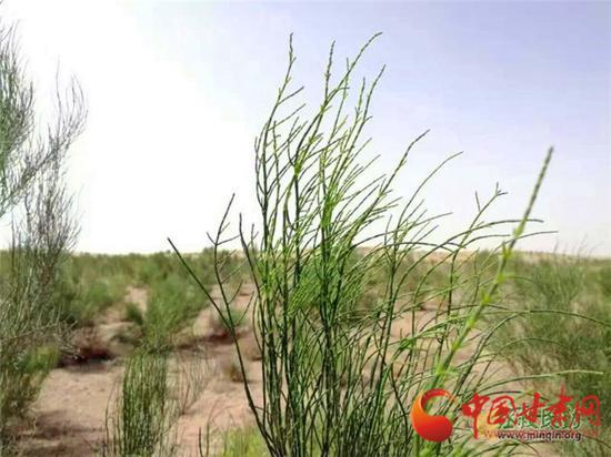 沙生植物梭梭